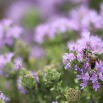 Bees at Majjistral Park, Malta