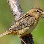 Zitting Cisticola at Nature Park, Malta
