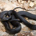 Black Western Whip Snake at Majjistral Park, Malta