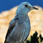 Blue Rock, national bird of Malta