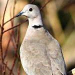 Collared dove, Malta