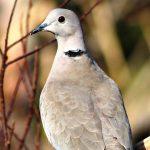 Collared dove, Malta