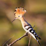 Hoopoe bird, Majjistral Park