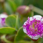 Caper flower at Majjistral Park