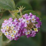 Majjistral Park, lantana flower