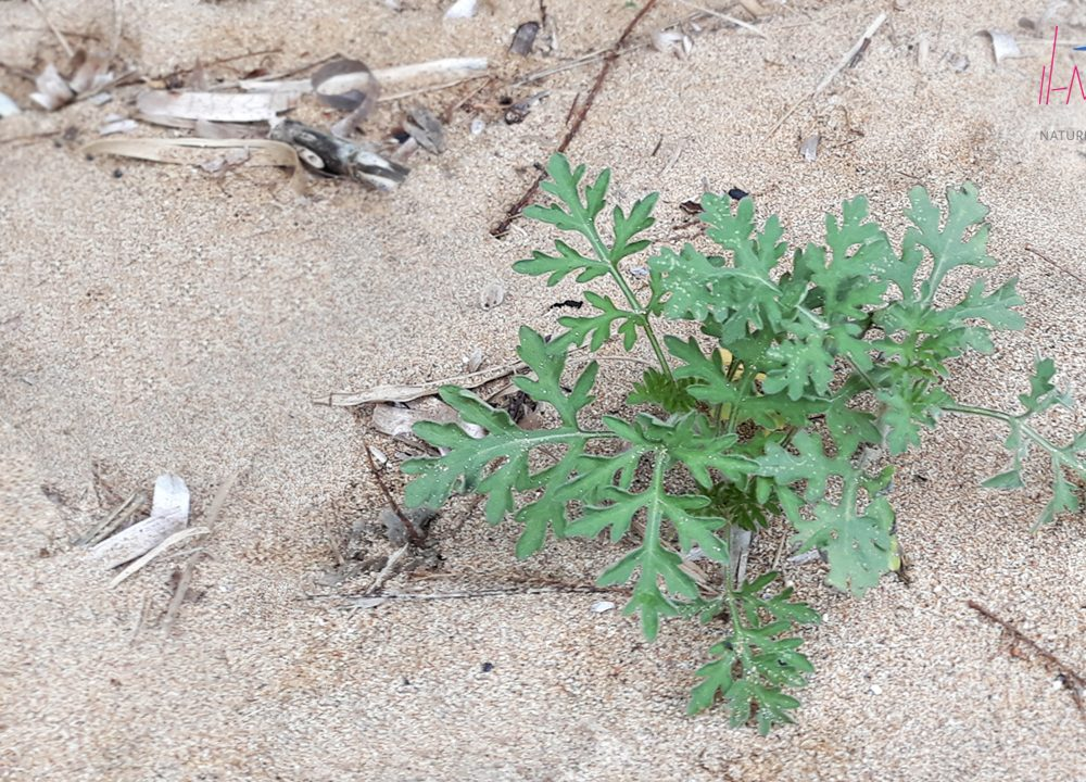 Re-introduction of endangered plant species