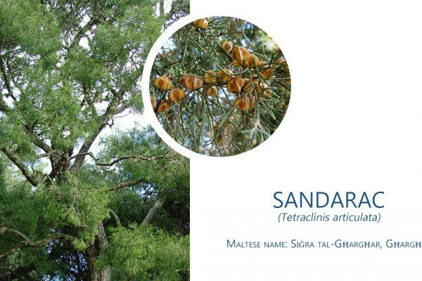 Afforestation Sandarak tree