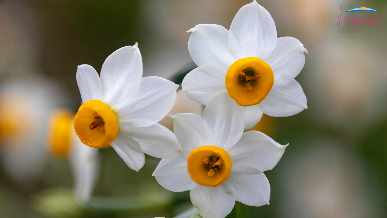 Narcis (Narcissus tazetta)