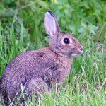 Rabbit (Fenek)