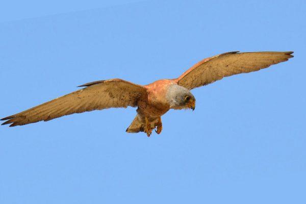 Falcon lesser kestrel