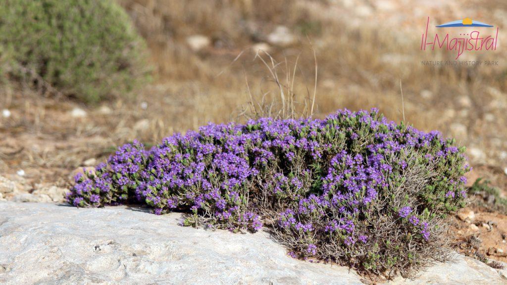 Mediterranean Thyme (Saghtar)