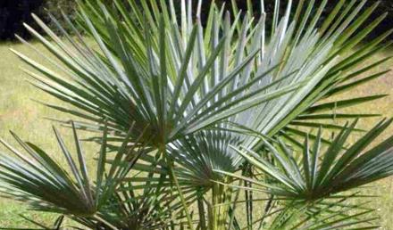 Dwarf Fan Palm – Chamaerops humilis – Ġummara