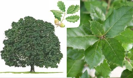 Holm Oak – Quercus ilex – Il-Balluta