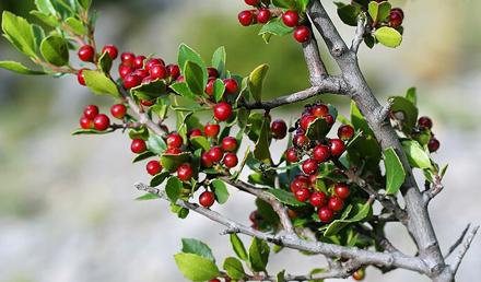 Mediterranean Buckthorn – Rhamnus alaternus – L-Alaternu
