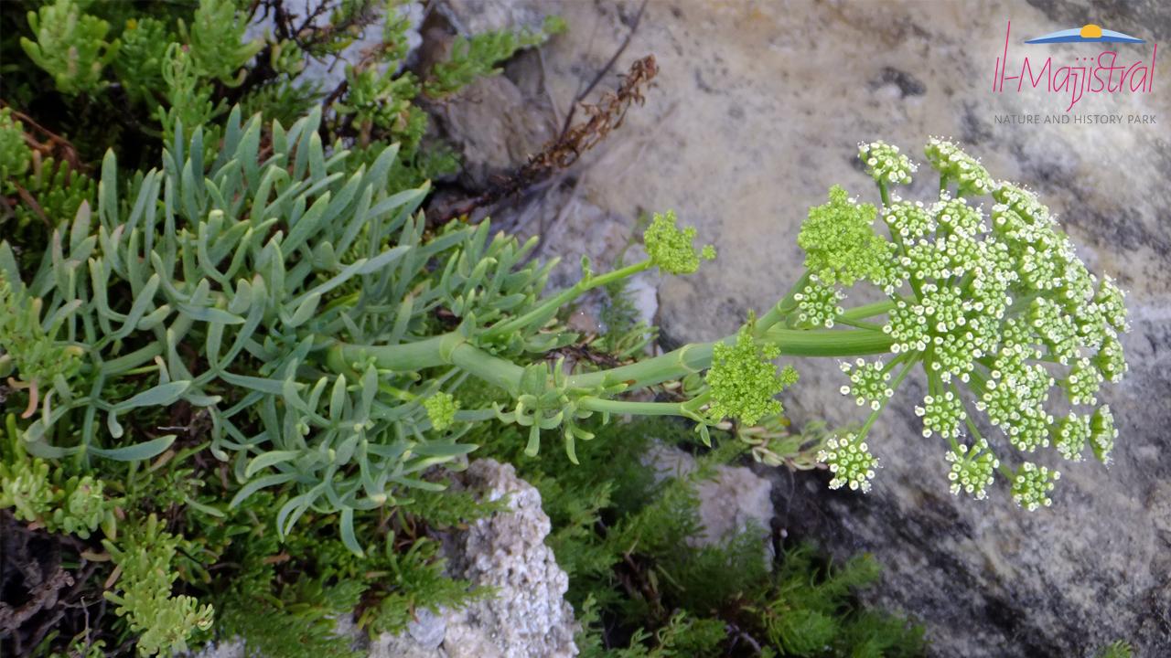 Rock Samphire, flora at Majjistral Park