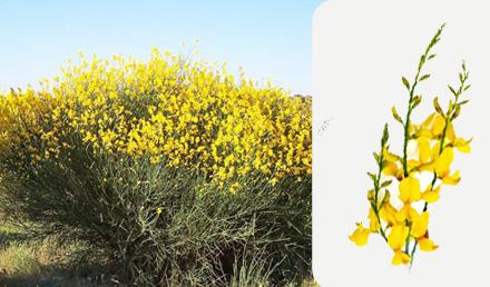 Spanish Broom – Spartium junceum – Ġenista Safra
