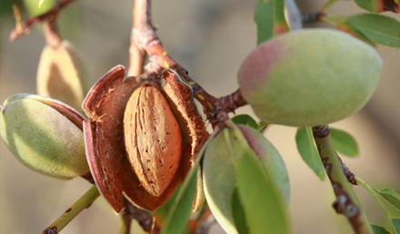 Almond Tree – Prunus dulcis is-Siġra tal-lewż