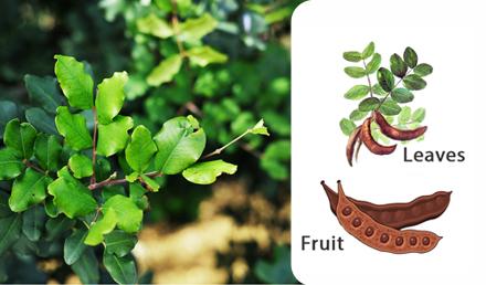 Carob Tree – Ceratonia siliqua – Ħarruba