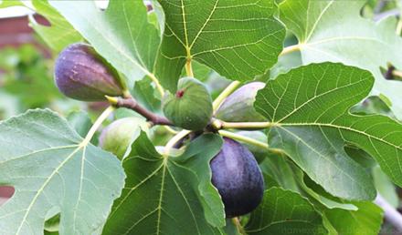 Fig Tree – Ficus carica – Siġra tat-Tin