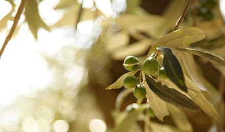 Olive Tree – Olea europaea – Siġra taż- Żebbuġ