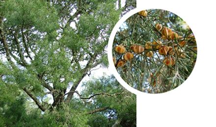 https://majjistral.org/wp-content/uploads/2021/06/Sandarac-Gum-Tree.pdf