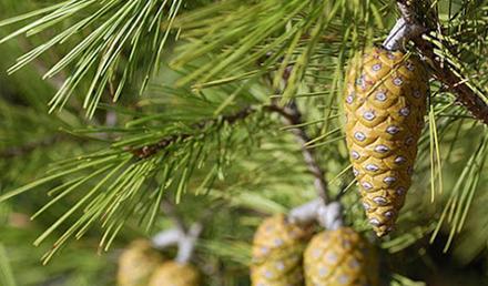 Aleppo Pine – Pinus halepensis – Siġra taż-Żnuber
