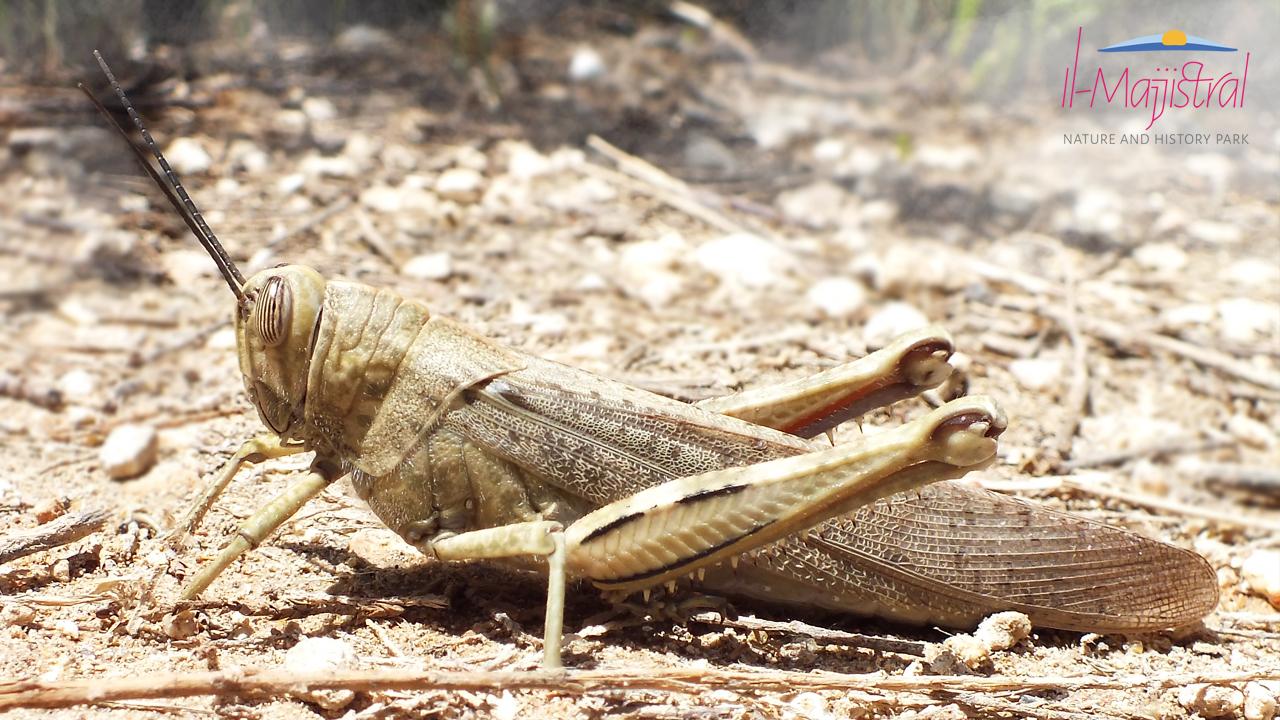 Egyptian-Grasshopper Majjistral Park